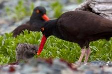 AmberJohnson_OystercatcherFeedingChick_Birds