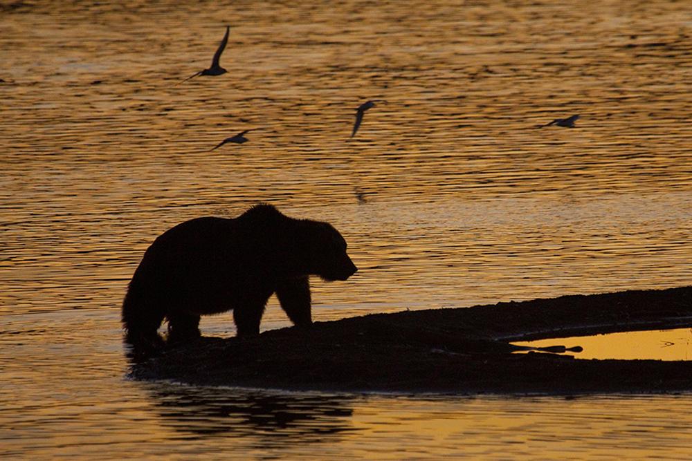 Katmai Brown Bear Sunrise