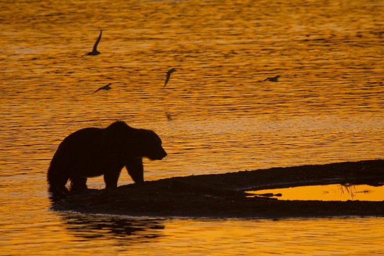 Brown bear, sunrise, Katmai National Park, Naknek Lake, Brooks Camp